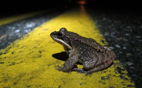 5 Things We've Learned About Addressing Amphibian Road Mortality