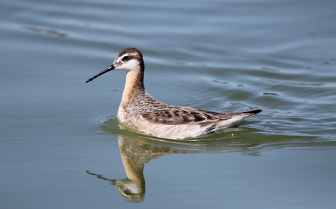 Whither Phalaropes