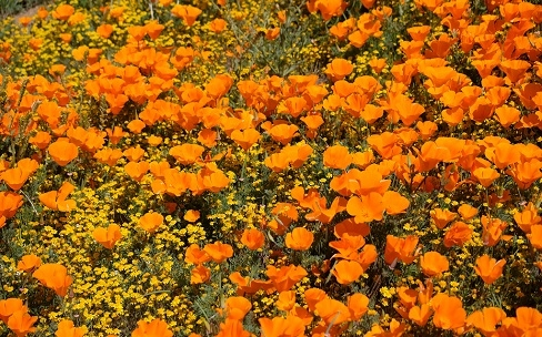 Saving the Super Bloom: Why California's Wildflowers Are Under Siege